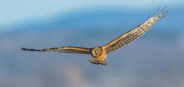 Wall Art - Photograph - Northern Harrier Flight #4 by Morris Finkelstein
