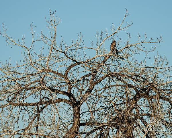 Wall Art - Photograph - Northern Harrier In A Tree by Jon Burch Photography