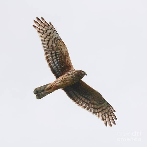 Photograph - Northern Harrier In Flight by Carol Groenen
