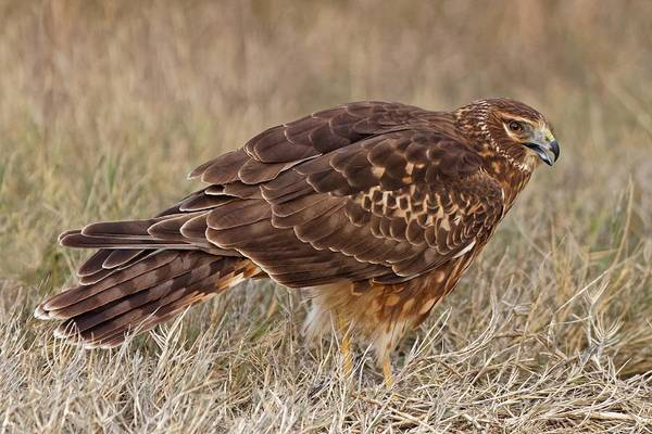 Photograph - Northern Harrier by KJ Swan