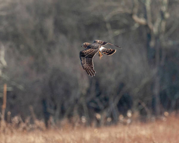Photograph - Northern Harrier The Catch by Lara Ellis