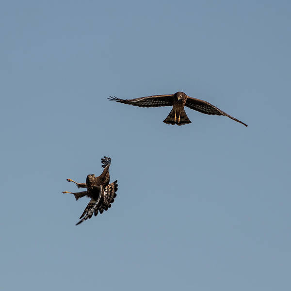 Photograph - Northern Harriers 1 by Douglas Killourie