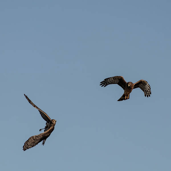 Photograph - Northern Harriers 2 by Douglas Killourie