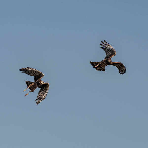 Photograph - Northern Harriers 4 by Douglas Killourie