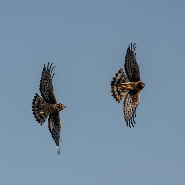 Photograph - Northern Harriers 5 by Douglas Killourie
