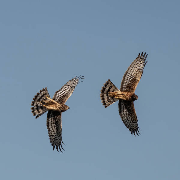 Photograph - Northern Harriers 6 by Douglas Killourie