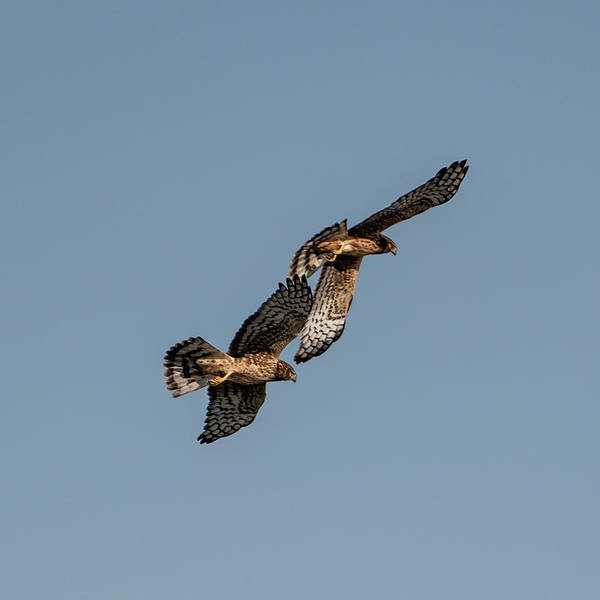 Photograph - Northern Harriers 8 by Douglas Killourie