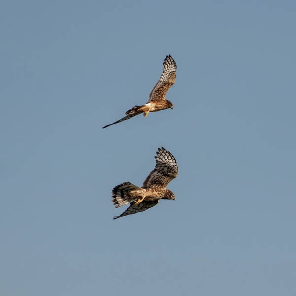 Photograph - Northern Harriers 9 by Douglas Killourie