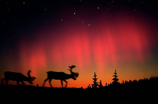 Wall Art - Photograph - Northern Lights Above Elks And by Per-andre Hoffmann / Look-foto