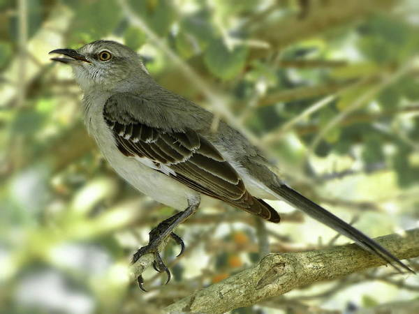Wall Art - Photograph - Northern Mockingbird Singing by Lyuba Filatova