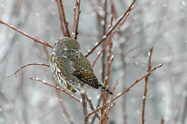 Photograph - Northern Pygmy Owl by Ronnie and Frances Howard