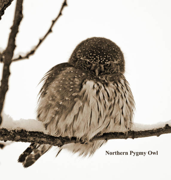 Wall Art - Photograph - Northern Pygmy Owl- Sepia by Whispering Peaks Photography