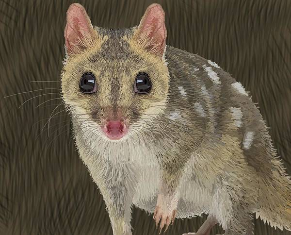 Drawing - Northern Quoll 1 by Joan Stratton
