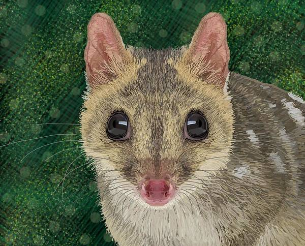 Drawing - Northern Quoll 2 by Joan Stratton