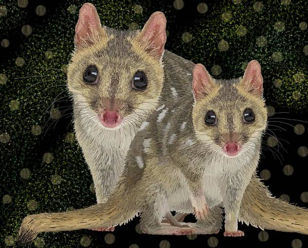 Drawing - Northern Quoll Pair by Joan Stratton