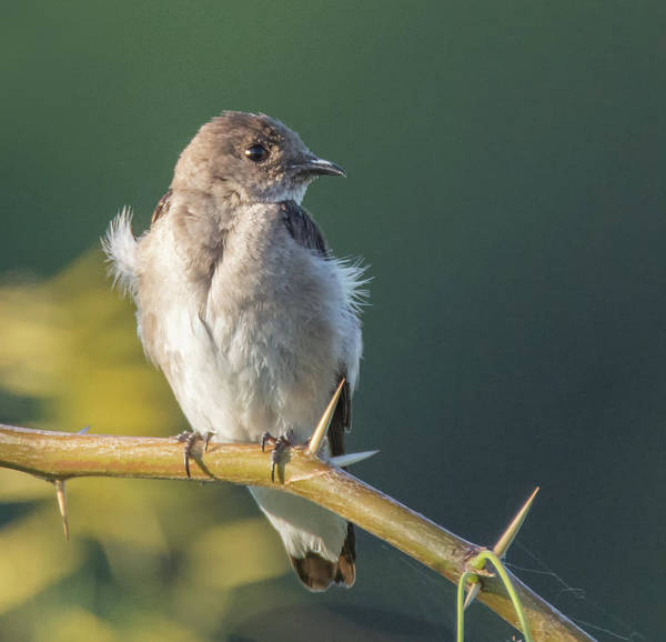 Photograph - Northern Rough-winged Swallow 4655-060319-2 by Tam Ryan