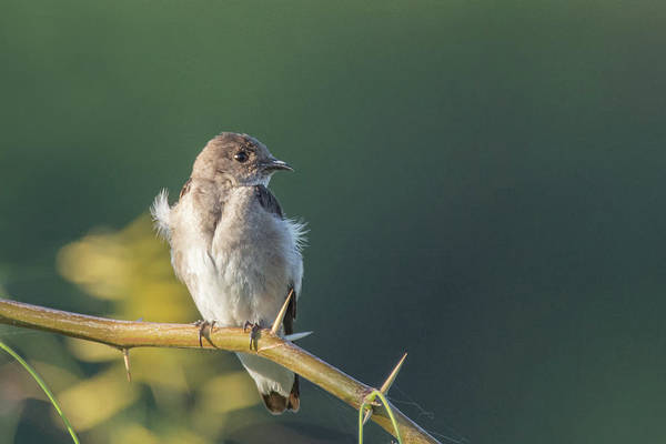Photograph - Northern Rough-winged Swallow 4655-060319 by Tam Ryan