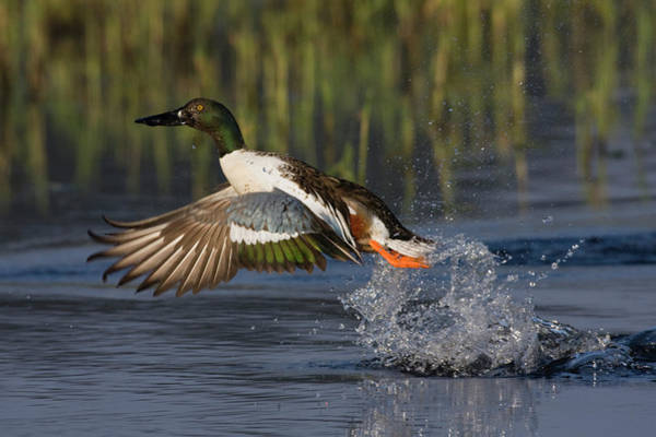 Wall Art - Photograph - Northern Shoveler Drake Flying by Ken Archer