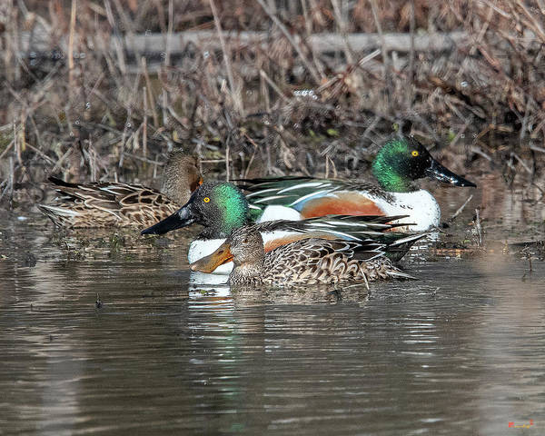 Photograph - Northern Shoveler Pairs Dwf0186 by Gerry Gantt