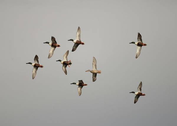 Wall Art - Photograph - Northern Shovelers- Fly Over by Whispering Peaks Photography