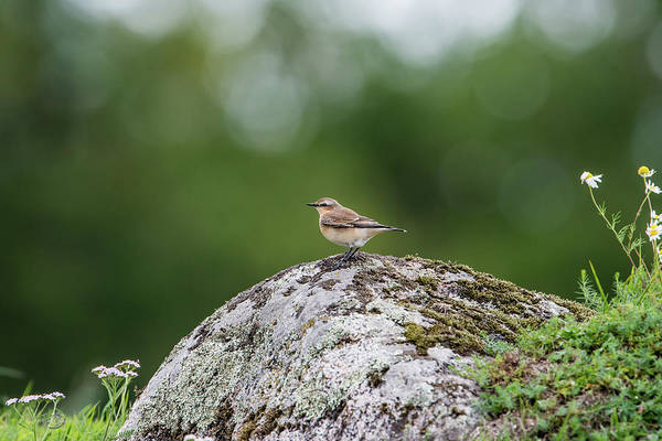 Photograph - Northern Wheatear Perching On A Stone by Torbjorn Swenelius