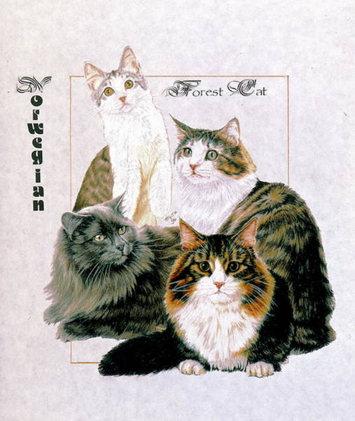 Drawing - Norwegian Forest Cat by Barbara Keith