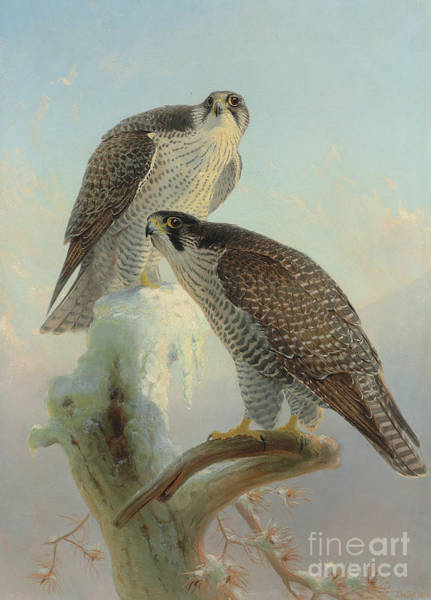 Wall Art - Painting - Norwegian Gyrfalcon, 1866  by Joseph Wolf