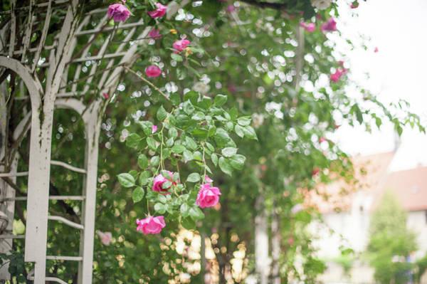 Photograph - Nostalgic Roses Of Franciscan Garden 2 by Jenny Rainbow