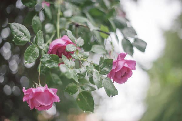 Photograph - Nostalgic Roses Of Franciscan Garden 4 by Jenny Rainbow