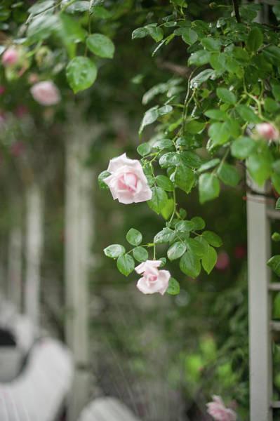 Photograph - Nostalgic Roses Of Franciscan Garden 5 by Jenny Rainbow
