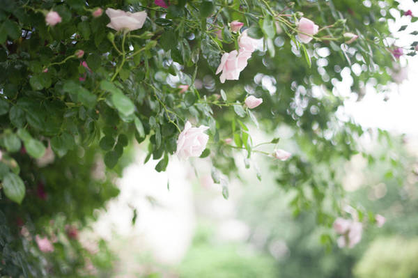 Photograph - Nostalgic Roses Of Franciscan Garden 6 by Jenny Rainbow