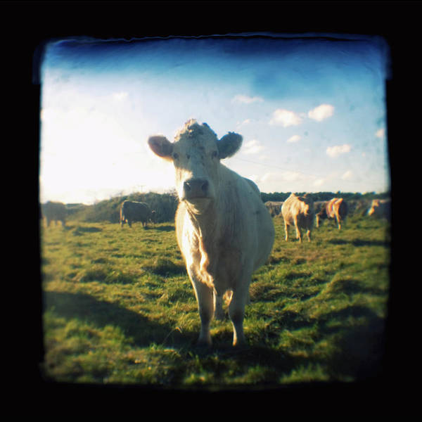 Art Prints Photograph - Nosy Cow by Jo Bradford / Green Island Art Studios