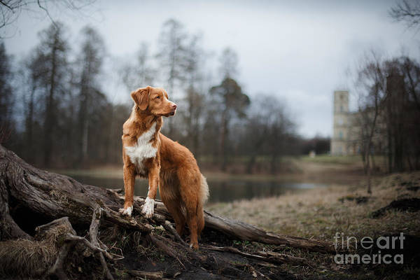Canine Wall Art - Photograph - Nova Scotia Duck Tolling Retriever Dog by Dezy