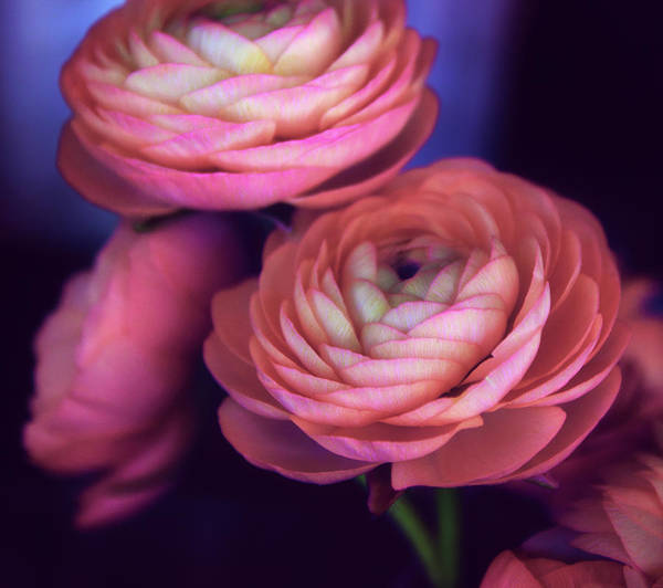 Wall Art - Photograph - Ranunculus Trio by Jessica Jenney