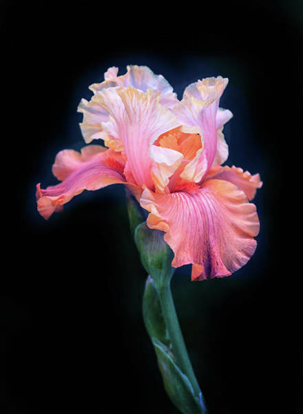 Wall Art - Photograph - Bearded Iris by Jessica Jenney