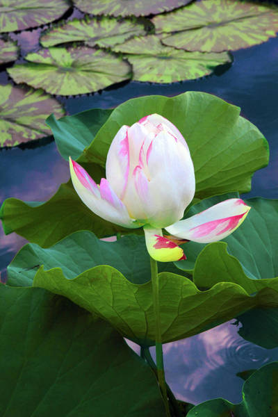 Wall Art - Photograph -  Lotus Bloom by Jessica Jenney