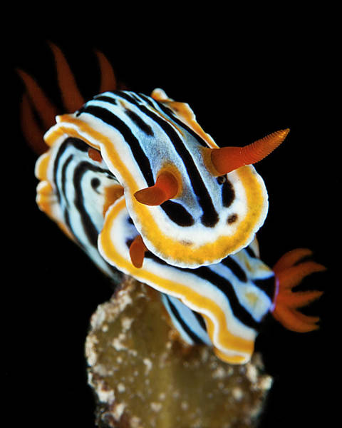 Philippines Photograph - Nudibrach by Belive...