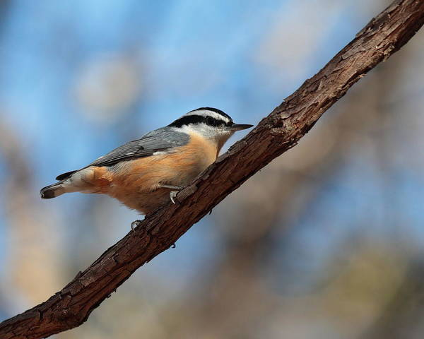 Photograph - Nuthatch 4443 by John Moyer