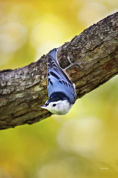 Sitta Carolinensis Photograph - Nuthatch Bird by Christina Rollo