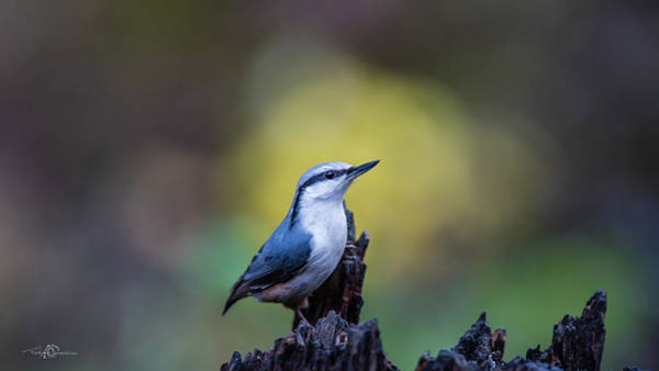 Photograph - Nuthatch On The Spot by Torbjorn Swenelius
