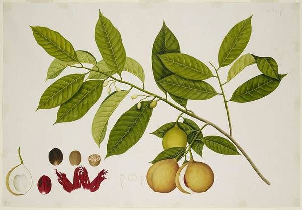 Wall Art - Painting - Nutmeg Tree 1824 by Celestial Images