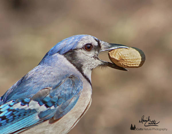 Photograph - Nutty Bluejay by David Cutts