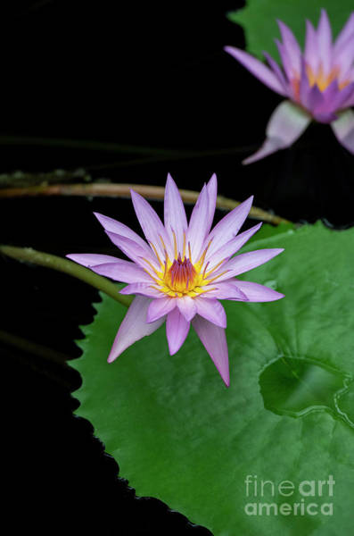Lilly Pad Photograph - Nymphaea A Siebert Waterlily by Tim Gainey