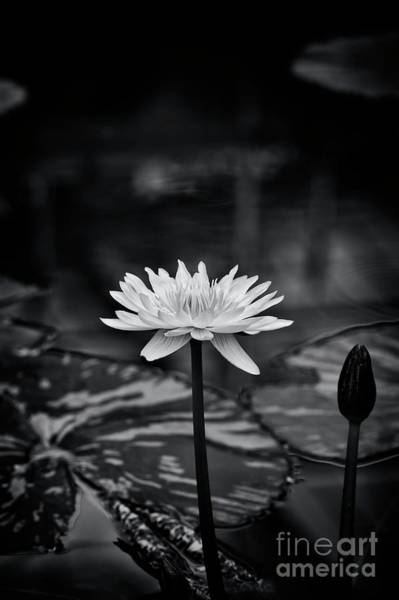 Wall Art - Photograph - Nymphaea Camembert Monochrome by Tim Gainey