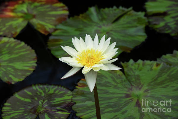 Photograph - Nymphaea Camembert by Tim Gainey