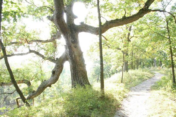Photograph - Oak Aura by Dylan Punke