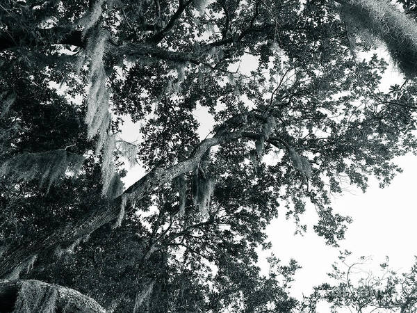 Photograph - Oak The Sky by Robert Knight