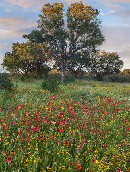 Photograph - Oak Tree And Indian Blanket Flowers by
