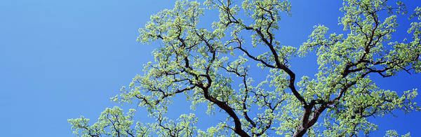 Wall Art - Photograph - Oak Tree, California, Usa by Panoramic Images