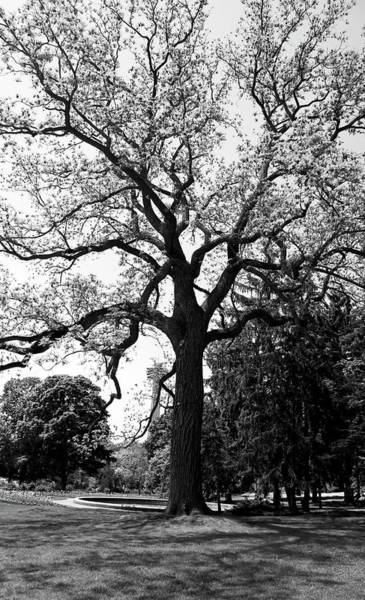 Photograph - Oak Tree In Niagara Park - Canada by Doc Braham